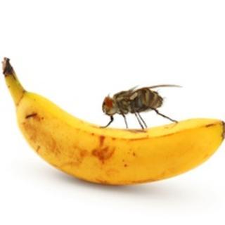 Fruit fly drosophila hunger memory appetitive